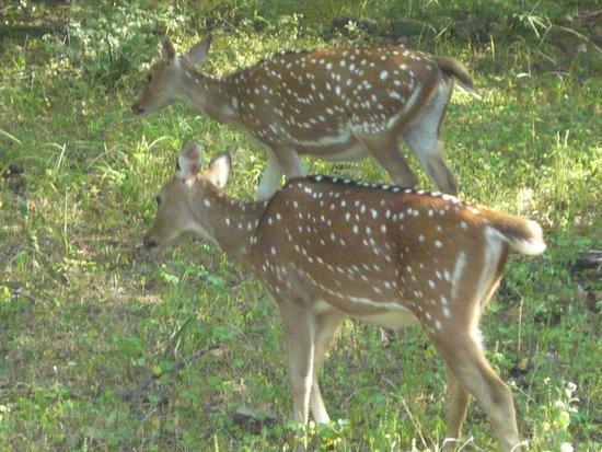 Tiger Safari Resort: spotted deer