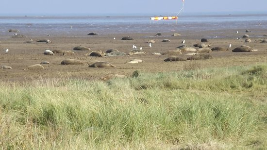 Donna Nook Nature Reserve: View of some of the seals