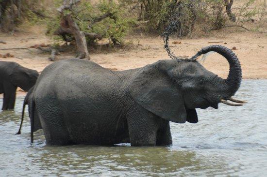 Gomo Gomo Game Lodge: Elephant bathing at Gomo Gomo