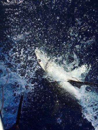 Lady Pamela II Sportfishing : 8' Hammerhead thrashing about
