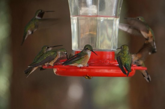 Wildcat Guard Station: lots of hummingbirds