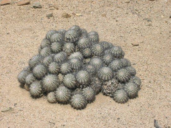 Pan de Azucar National Park: cactus borde costero desierto