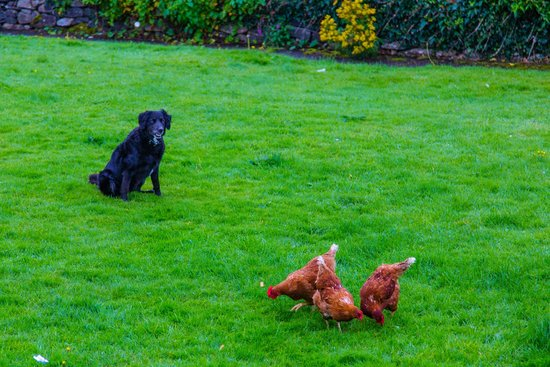 dog keeping seagulls away as chickens eat picture of pax guest rh tripadvisor ie