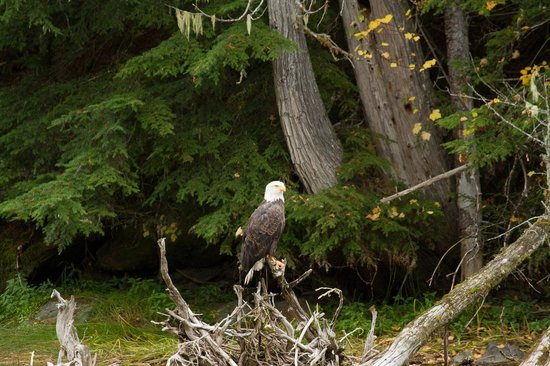 Grizzly Bear Ranch: Bald eagle