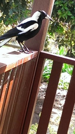 Clover Cottage Country Retreat: Magpie visitor