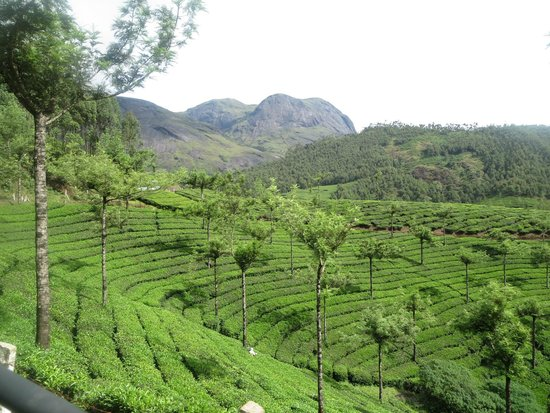 Anamudi Peak: Tea plantations