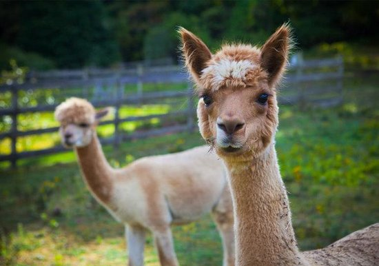 West Mountain Inn: Our friendly alpacas!