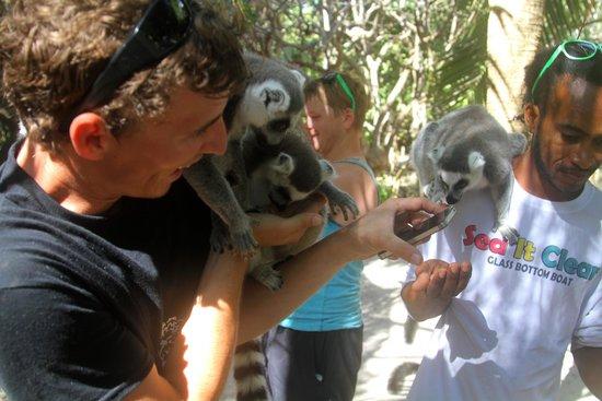 Gumption's Tours BVI: Gumption showing us the lemurs on Necker Island