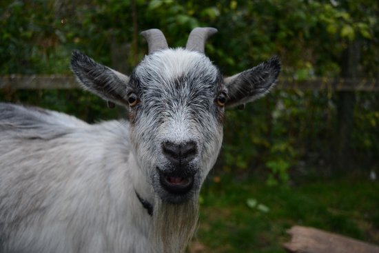 School Cottages Bed & Breakfast: Adorable Goat