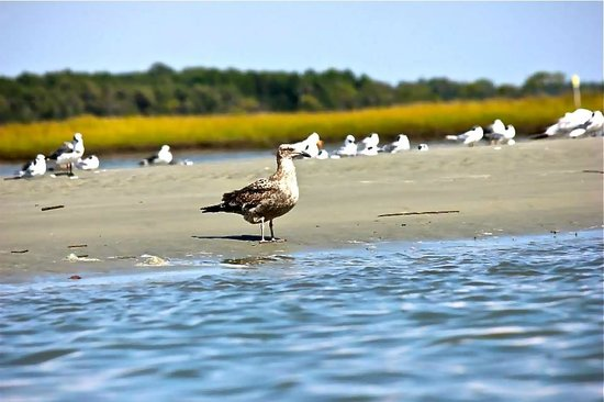 Great Escapes Kayak Expeditions: Birds of the marsh in Cherry Grove