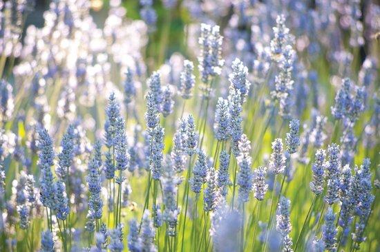 Carmel Valley Ranch: Lavender