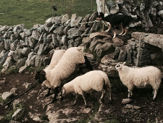 Caherconnell Stone Fort: sheep dog demo