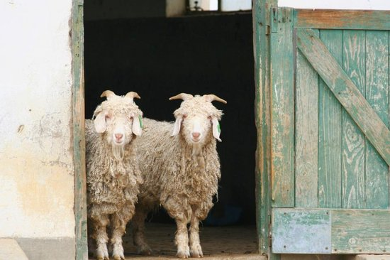Uitenhage, África do Sul: Mohair is sourced from the finest angora goats