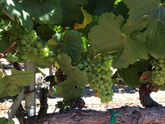 Napa Winery Inn: The vineyards in July