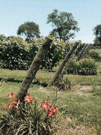 Carolyn's Sakonnet Vineyard : vines