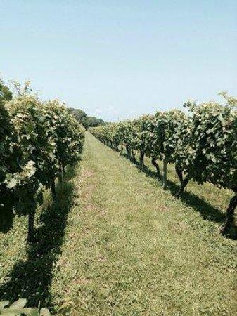 Carolyn's Sakonnet Vineyard : rows and rows of grapes