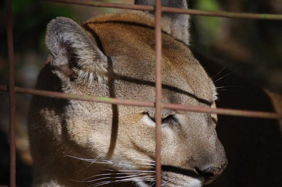 Big Cat Rescue : Lion Releaxing