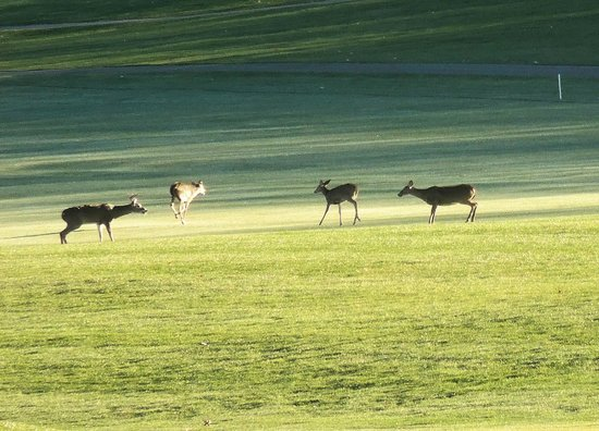 Cacapon Resort State Park : Deer on golf course