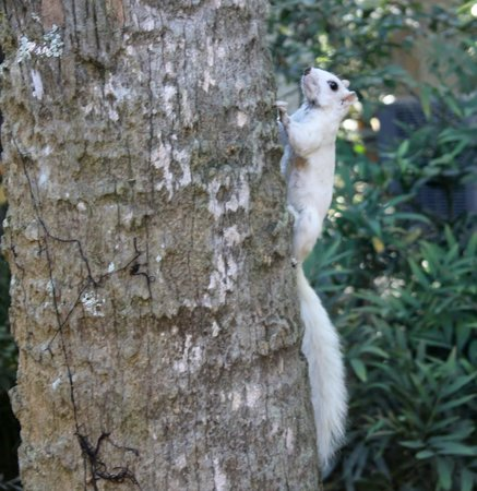 Tallahassee Museum: white squirrel