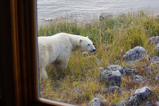 Seal River Heritage Lodge : Bear view from inside the lodge