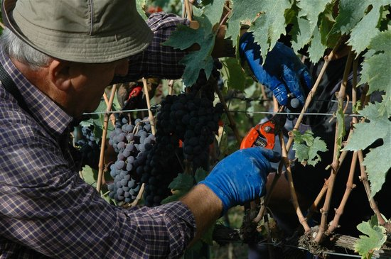 Agriturismo I Casalini: harvesting the grapes