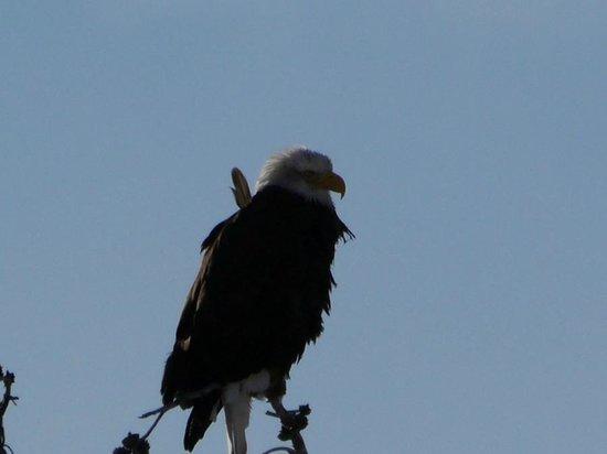 Yellowstone's Absaroka Lodge: Bald Eagle