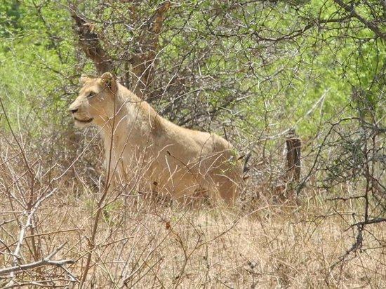 Crocodile Kruger Safari Lodge: Young male lion eyeing up Impala