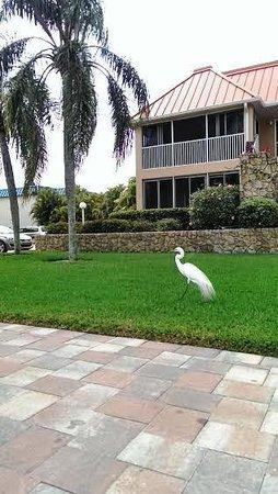 Sanibel Arms Condominiums: Heron Harry