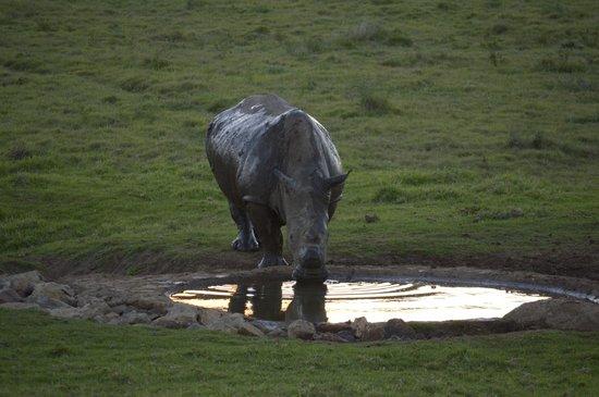 Schotia Tooth and Claw Safari : Rinoceronte no water hole ao cair da tarde