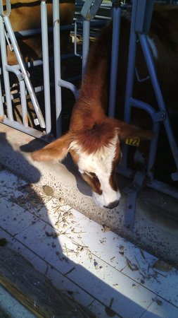 Lapp Valley Farm: Cute cow