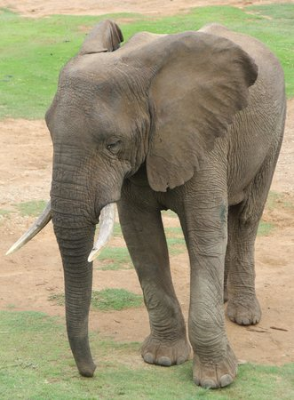 Addo Elephant Lodge and Safaris: elephant
