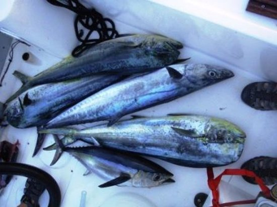 Lower Keys Adventure Charters: Big Mack attack - dolphin, blue fin tuna and king mackerel