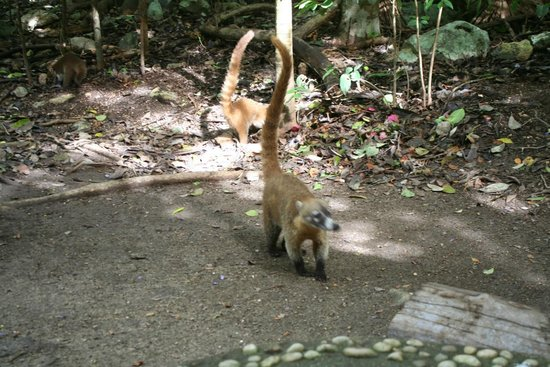 Cancun With Me Day Tours: Coatil!