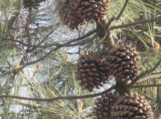 Pinecones, Mount Diablo State Park, Clayton, Ca