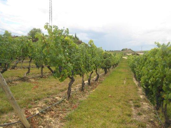 Bodegas Marques de Riscal: ボルドーに比べると丈の高い柵作り