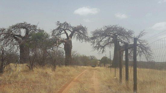เมสซีนา, แอฟริกาใต้: Baobab trees