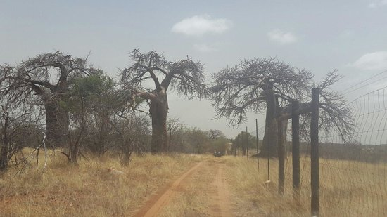 Musina, Sudafrica: Baobab trees