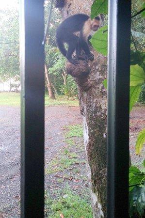 Espadilla Ocean Club : Monkey just outside the gate to our villa