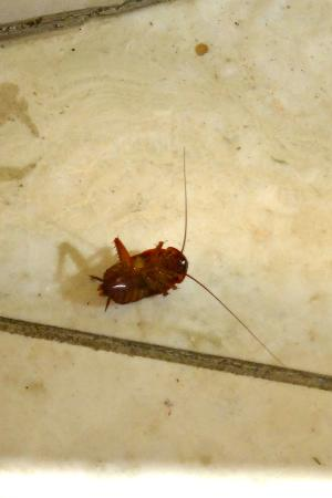 Индиан-Уэллс, Калифорния: One of many cockroaches found in lobby-dining area (his legs were kicking...not dead)