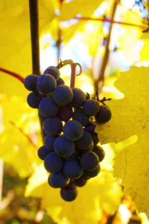 Grapes from the vine at Red Ridge Farms/Durant Vineyard