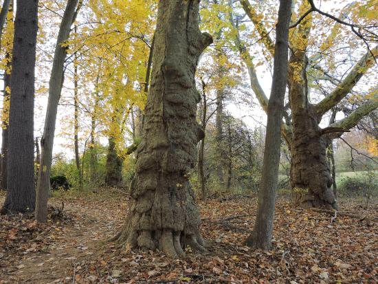 Ridley Creek State Park: love these giant old sycamores