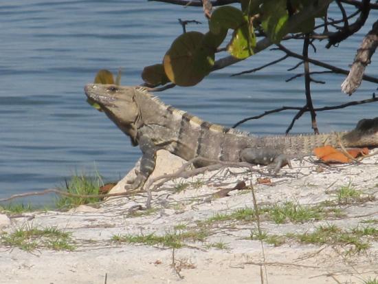 Cancun Golf Club at Pok-Ta-Pok: Iguana