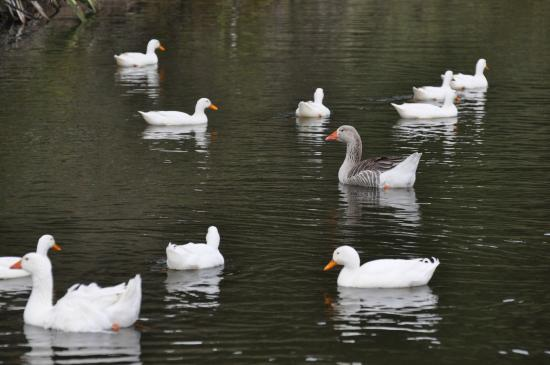 The Pear Orchard Lodge: Ducks and geese on the pond below the farmhouse