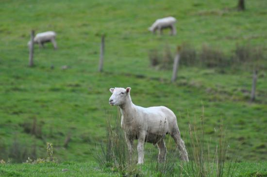 The Pear Orchard Lodge: Sheep grazing on one of the many large fenced areas near the farmhouse