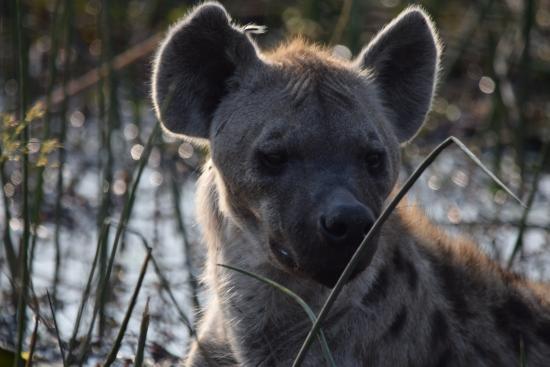 Wilderness Safaris DumaTau Camp: Hiena!