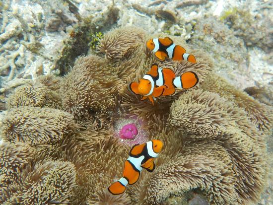 Tetepare Island Eco-lodge: clown fish 10m from the beach