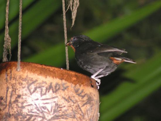 Sporofile rougegorge foto di au jardin des colibris for Au jardin des colibris