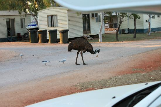 """Exmouth Cape Holiday Park: The """"locals"""" says hello.."""