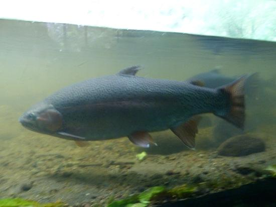Tongariro National Trout Centre: trout fish