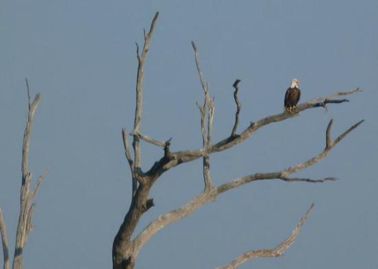 Montegut, LA: PointeAuxChenes Eagle